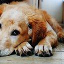 Yellow_Dog