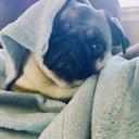 Pugs_Mila