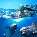 dolphin_o6