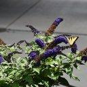 purplecat4