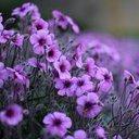 violet15