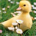 Duck545