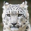 leoopard